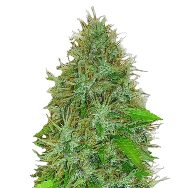 Heavyweight 2 Fast 2 Vast Auto Review | Discount Cannabis Seeds