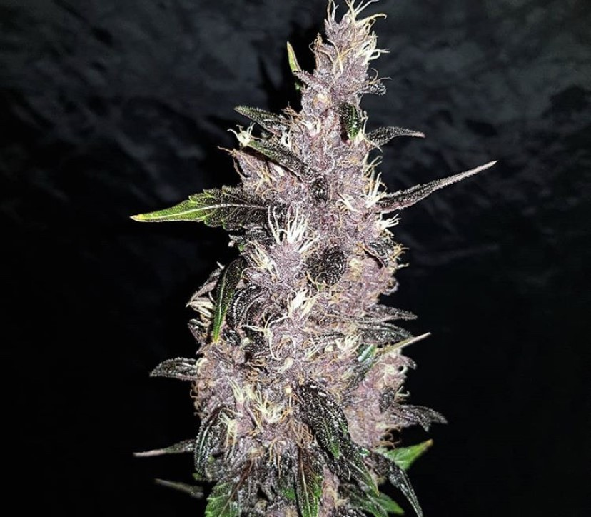 Seed Stockers Purple Punch Auto - Discount Cannabis Seeds