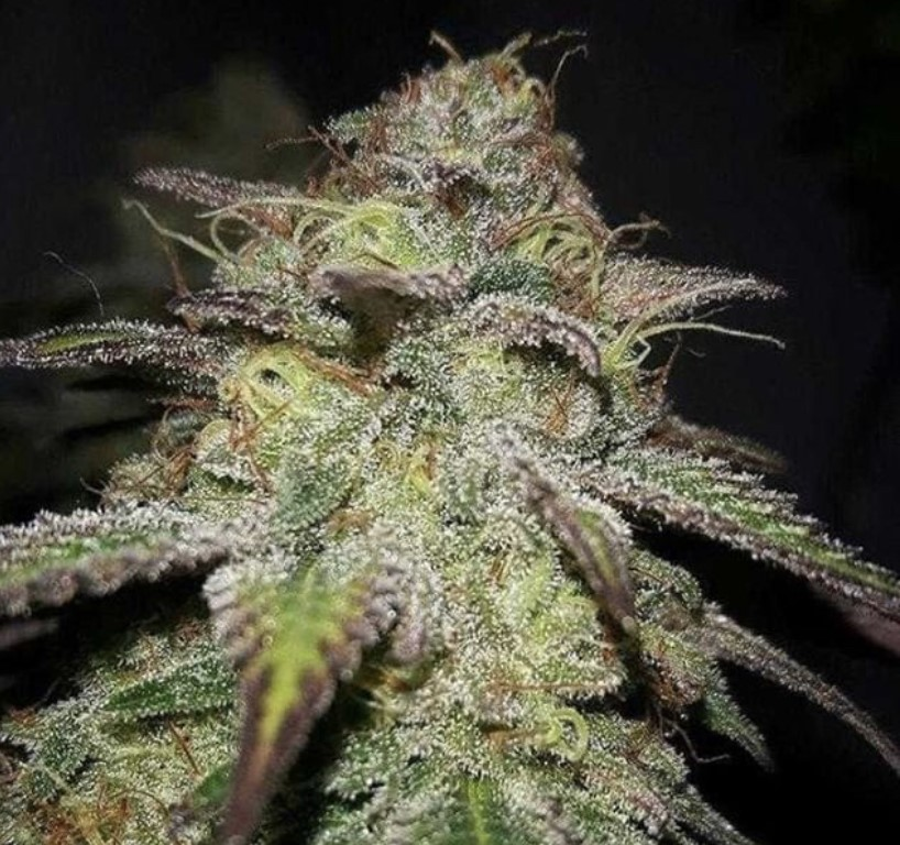 Seed Stockers Blackberry Gum Auto - Discount Cannabis Seeds