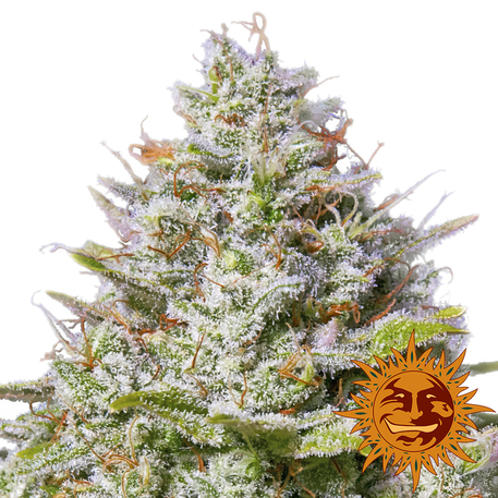 Buy Blue Gelato 41 from Barney's Farm at Discount Cannabis Seeds