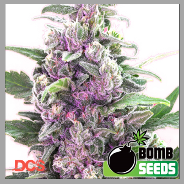 THC Bomb Cannabis Seeds By Bomb Seeds Review