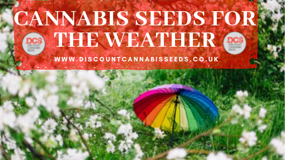 Cannabis Seeds for the Weather - Discount Cannabis Seeds