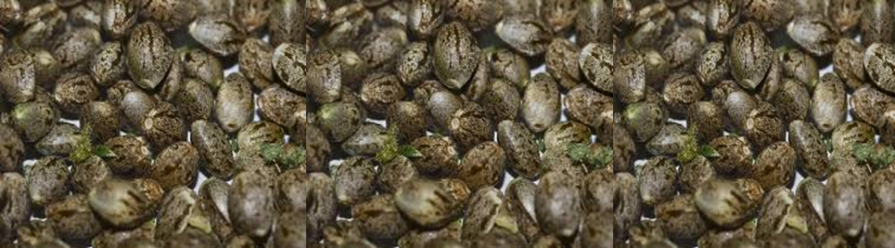 Bulk Cannabis Seeds - Discount Cannabis Seeds