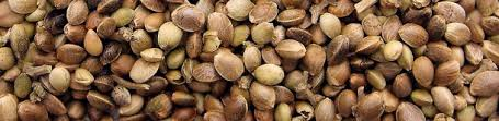 Buy Cannabis Seeds   Discount Cannabis Seeds