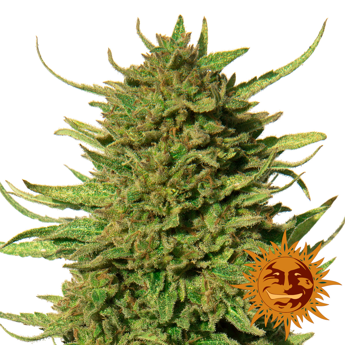 Buy Critical Kush Feminised from Barney's Farm at Discount Cannabis Seeds