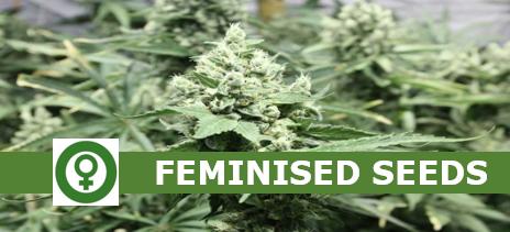 Feminised Cannabis Seeds - Discount Cannabis Seeds