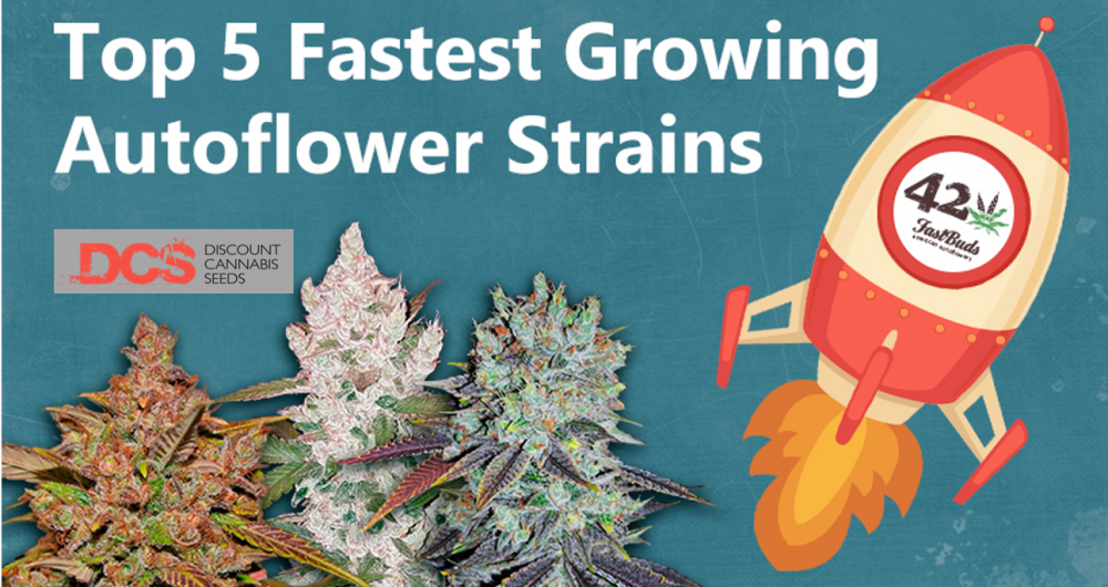 Fastest Auto Flowering Cannabis Seeds - Discount Cannabis Seeds