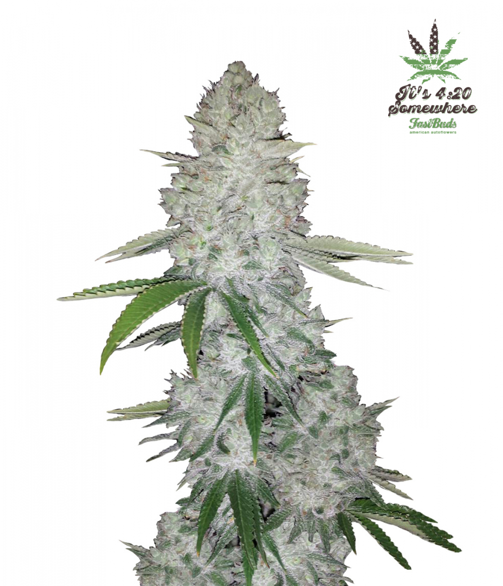 Gorilla Glue Auto - Discount Cannabis Seeds