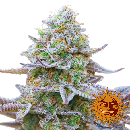 Buy Gorilla Zkittlez Feminised from Barney's Farm at Discount Cannabis Seeds