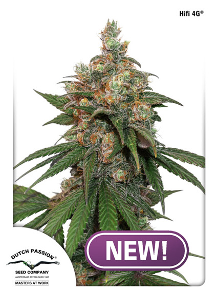 Buy HiFi 4G Feminised Cannabis Seeds from Discount Cannabis Seeds