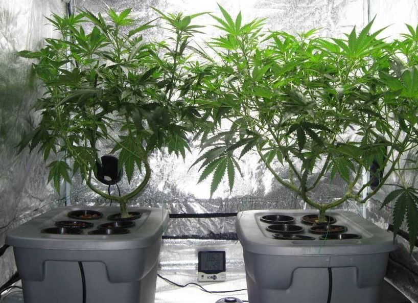 Home Cultivation - Discount Cannabis Seeds