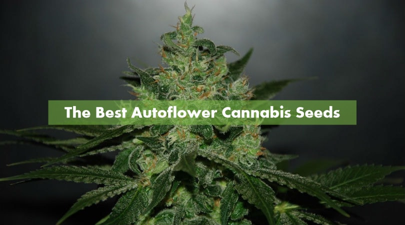 The Best Auto Cannabis Seeds for 2021 - Discount Cannabis Seeds.