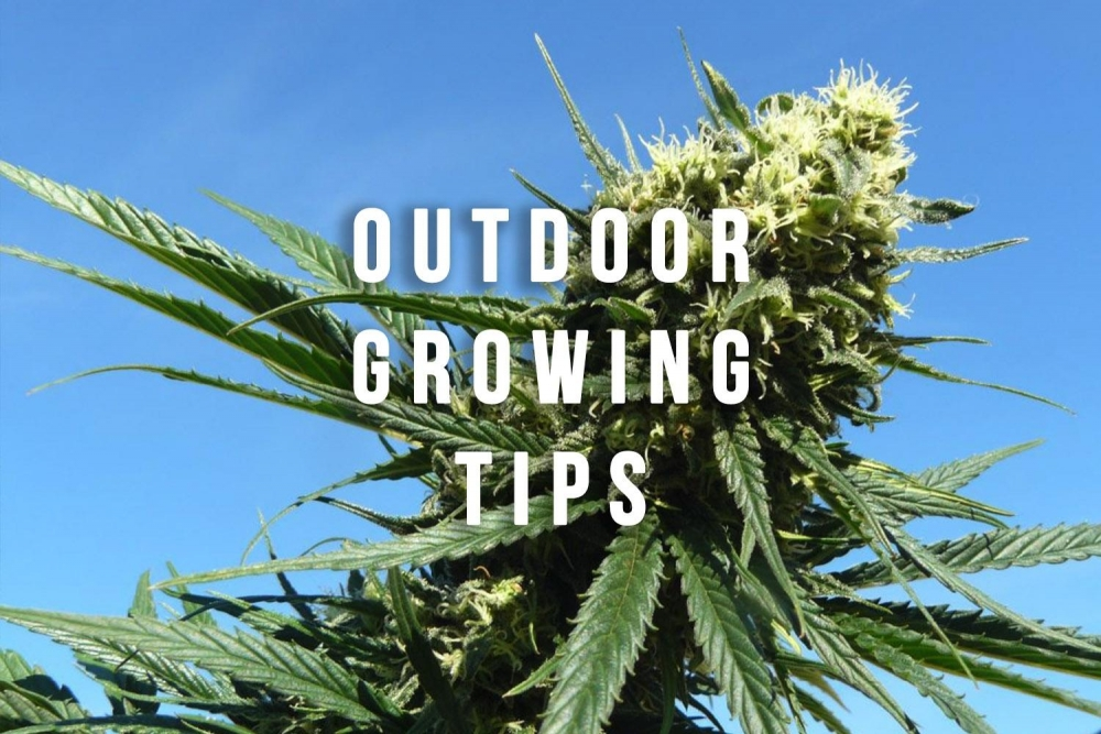 Cannabis Seeds Perfect For Growing Outdoors This Season - Discount Cannabis Seeds.