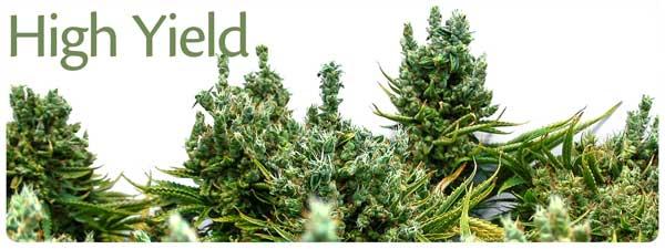 Cannabis Seeds XXL Yields Reviews - Discount Cannabis Seeds.