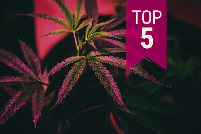 Cannabis Seeds Our Customers Top 5 Seeds - Discount Cannabis Seeds.