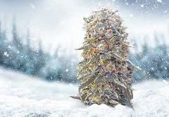 Best Cannabis Seeds For Winter 2021 - Discount Cannabis Seeds.