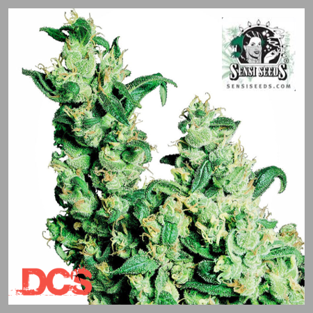 Jack Herer Regular Cannabis Seeds | Discount Cannabis Seeds