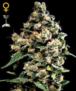 Cаnnаbіѕ Strаіn Rеvіеw | Jасk Hеrеr | Discount Cannabis Seeds