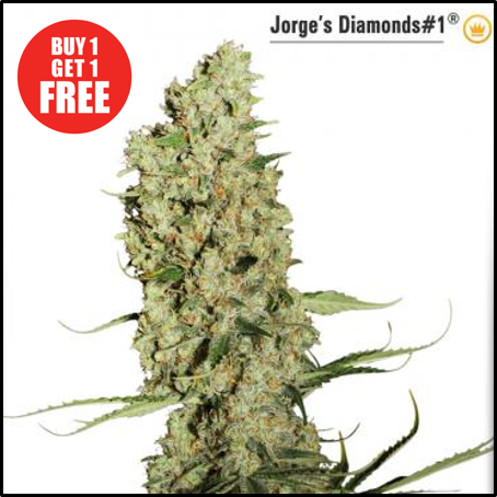 Buy Jorge's Diamonds #1 - Discount Cannabis Seeds