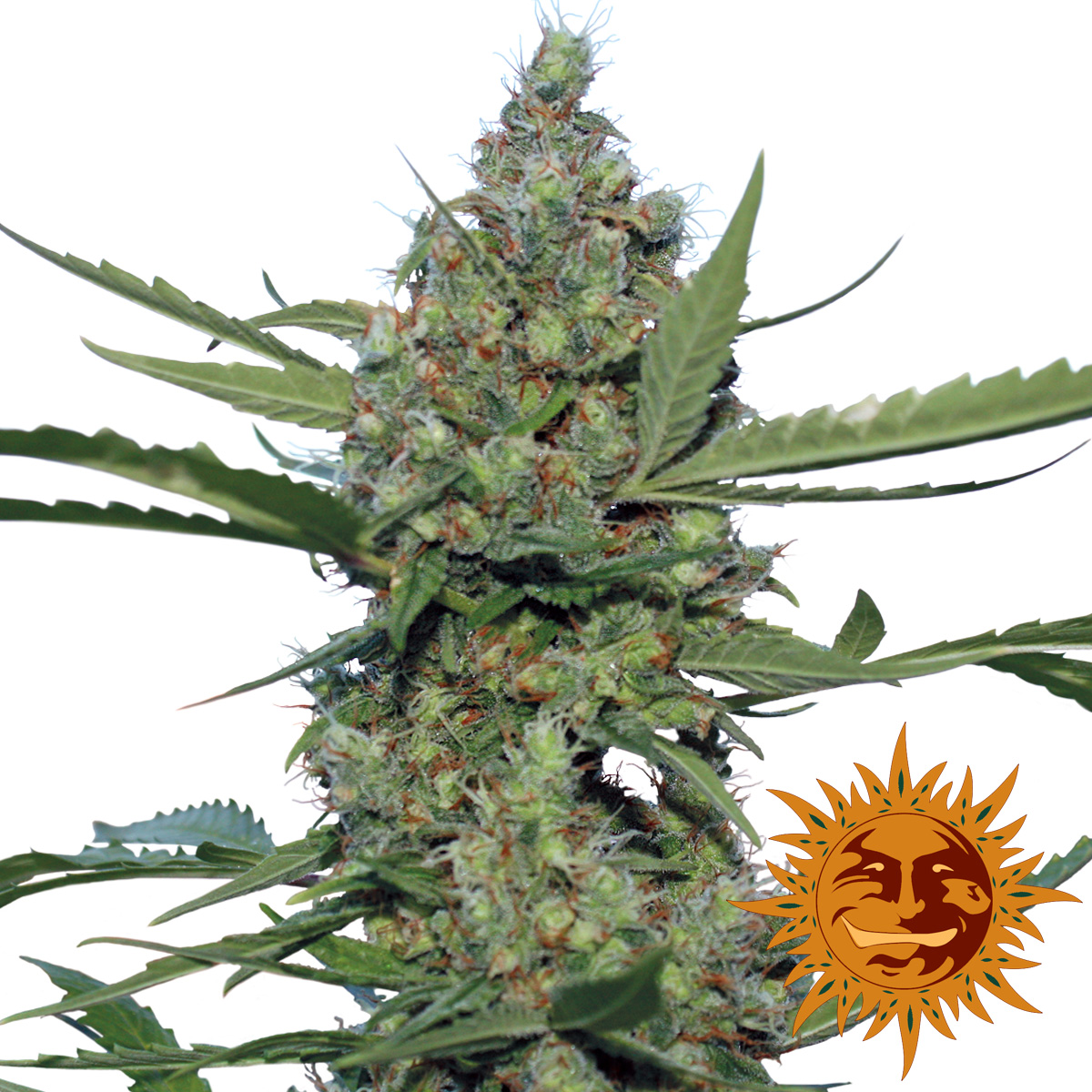 Laughing Buddha - Discount Cannabis Seeds