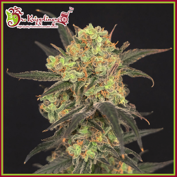 Leisure Zoot Larry Feminised Cannabis Seeds – Dr Krippling