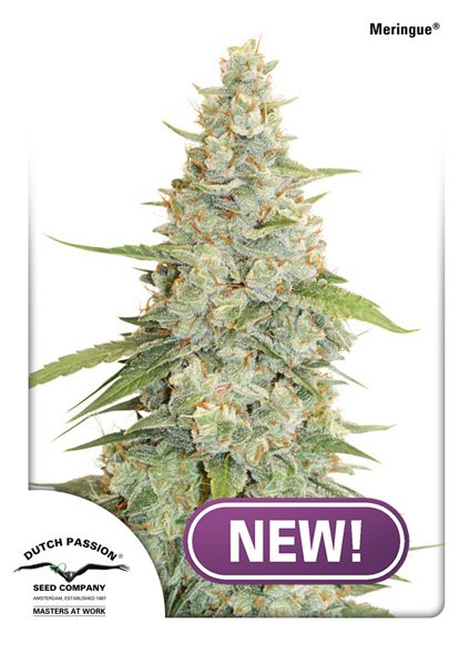 Buy Meringue Feminised Cannabis Seeds from Discount Cannabis Seeds