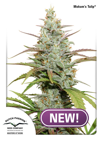 Buy Mokum's Tulip Feminised Cannabis Seeds from Discount Cannabis Seeds