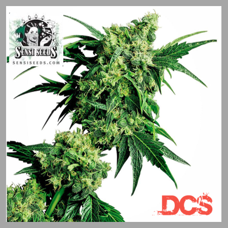Mr Nice x G13 Hash Plant | Discount Cannabis Seeds