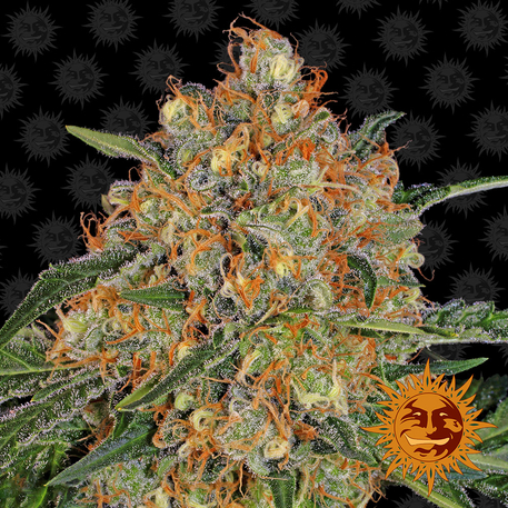 Orange Sherbert - Barney's Farm - Discount Cannabis Seeds