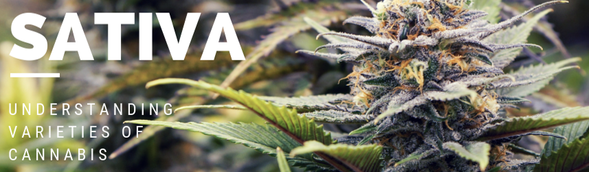 Sativa Strains - Discount Cannabis Seeds