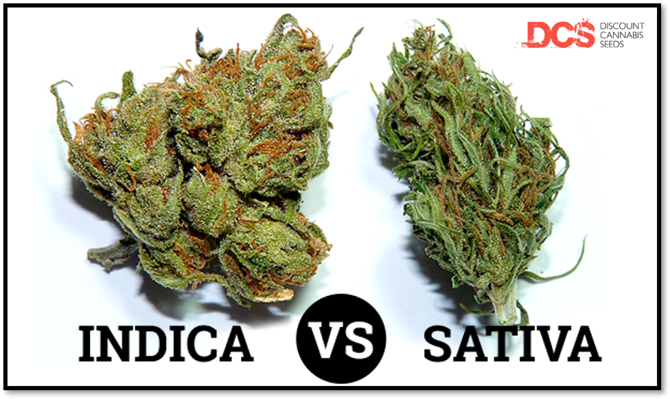 Top Sativa Cannabis Seeds - Discount Cannabis Seeds