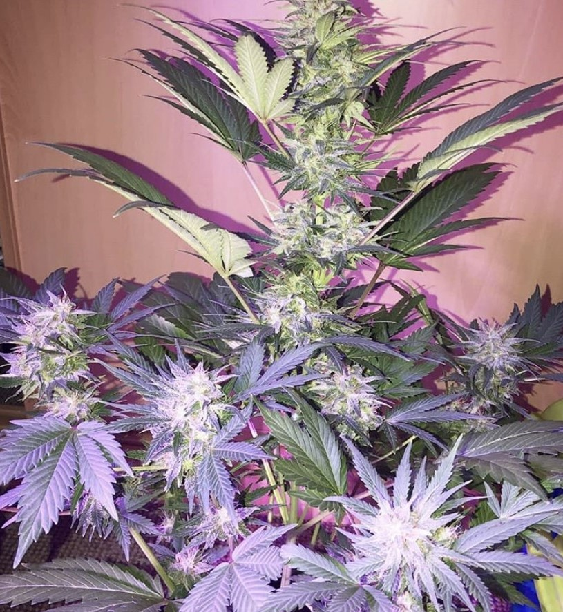 Seed Stockers Amnesia Auto - Discount Cannabis Seeds
