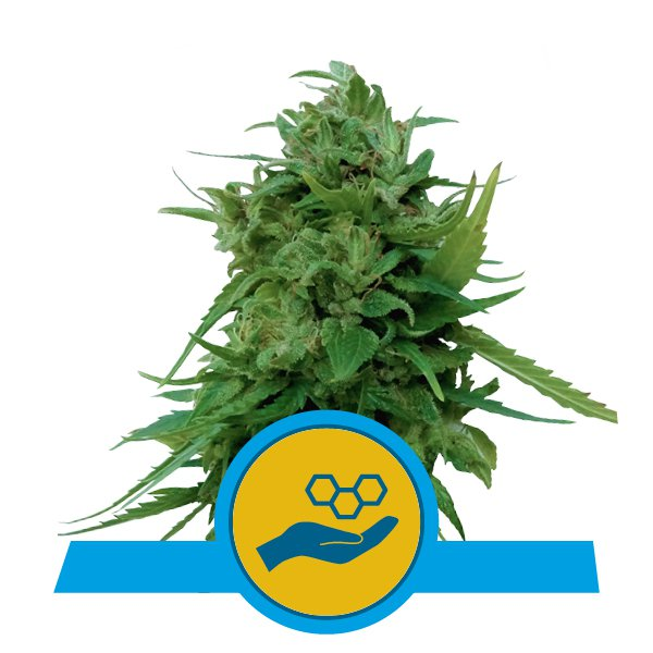 Solomatic CBD - Discount Cannabis Seeds