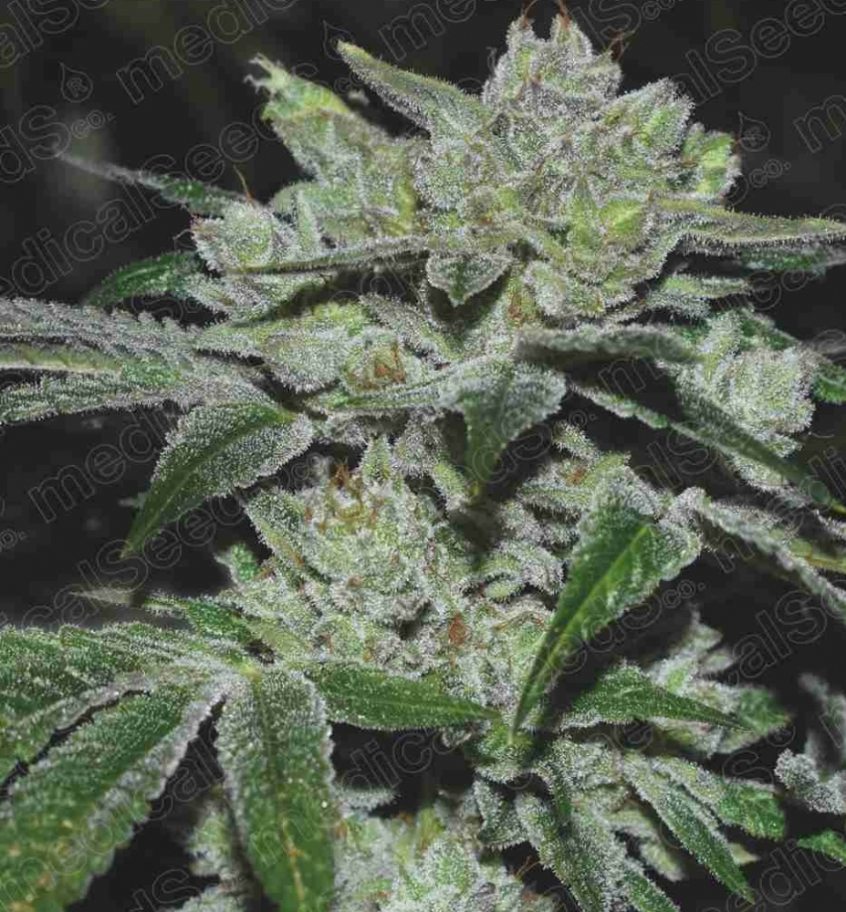 Medical Seeds from Discount Cannabis Seeds