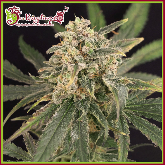 Sour Tang Kripple Feminised Cannabis Seeds – Dr Krippling