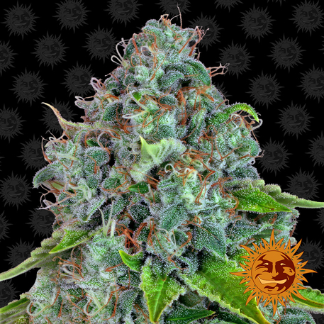 Strawberry Lemonade - Barney's Farm - Discount Cannabis Seeds