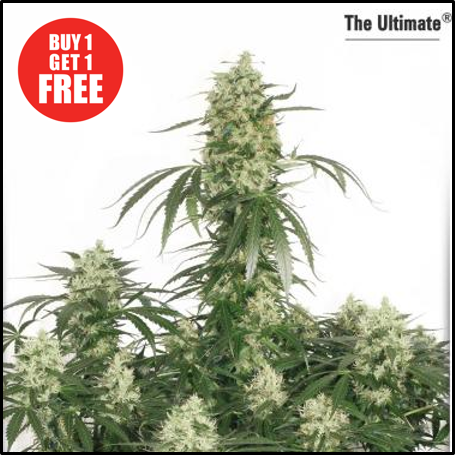 Buy The Ultimate from Discount Cannabis Seeds