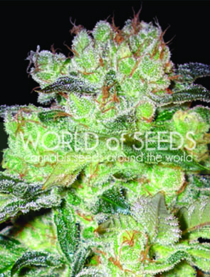 Afghan Kush x White Widow - Discount Cannabis Seeds