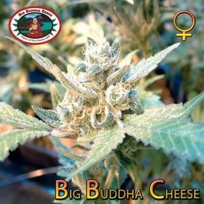 Big Buddha Cheese Feminised Cannabis Seeds