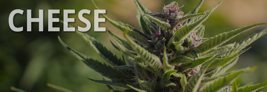 Top 3 Cheese Cannabis Seeds Review