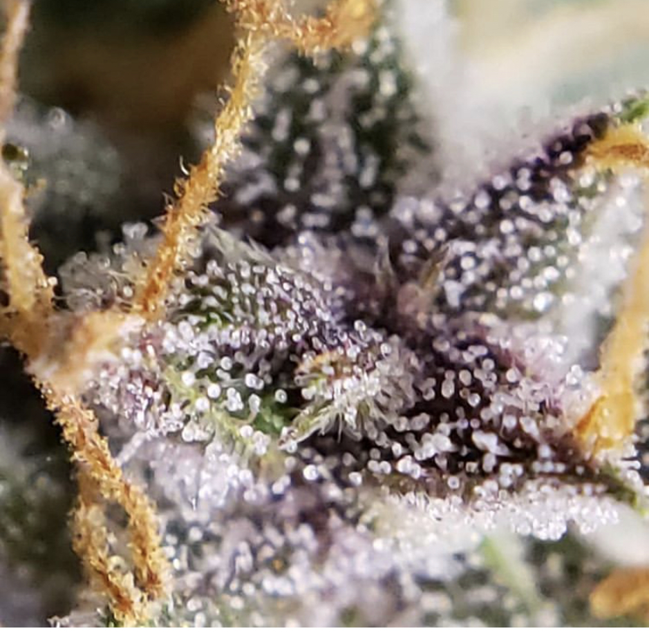 Barneys Farm Purple Punch Auto - Discount Cannabis Seeds