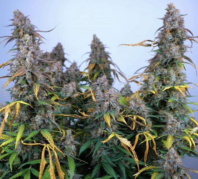 Buy Cannabis Seeds from Discount Cannabis Seeds