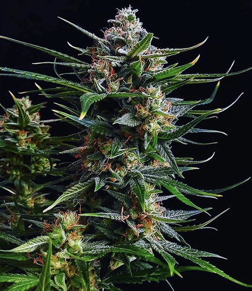 Bubble Kush Auto - Discount Cannabis Seeds - Discount Cannabis Seeds
