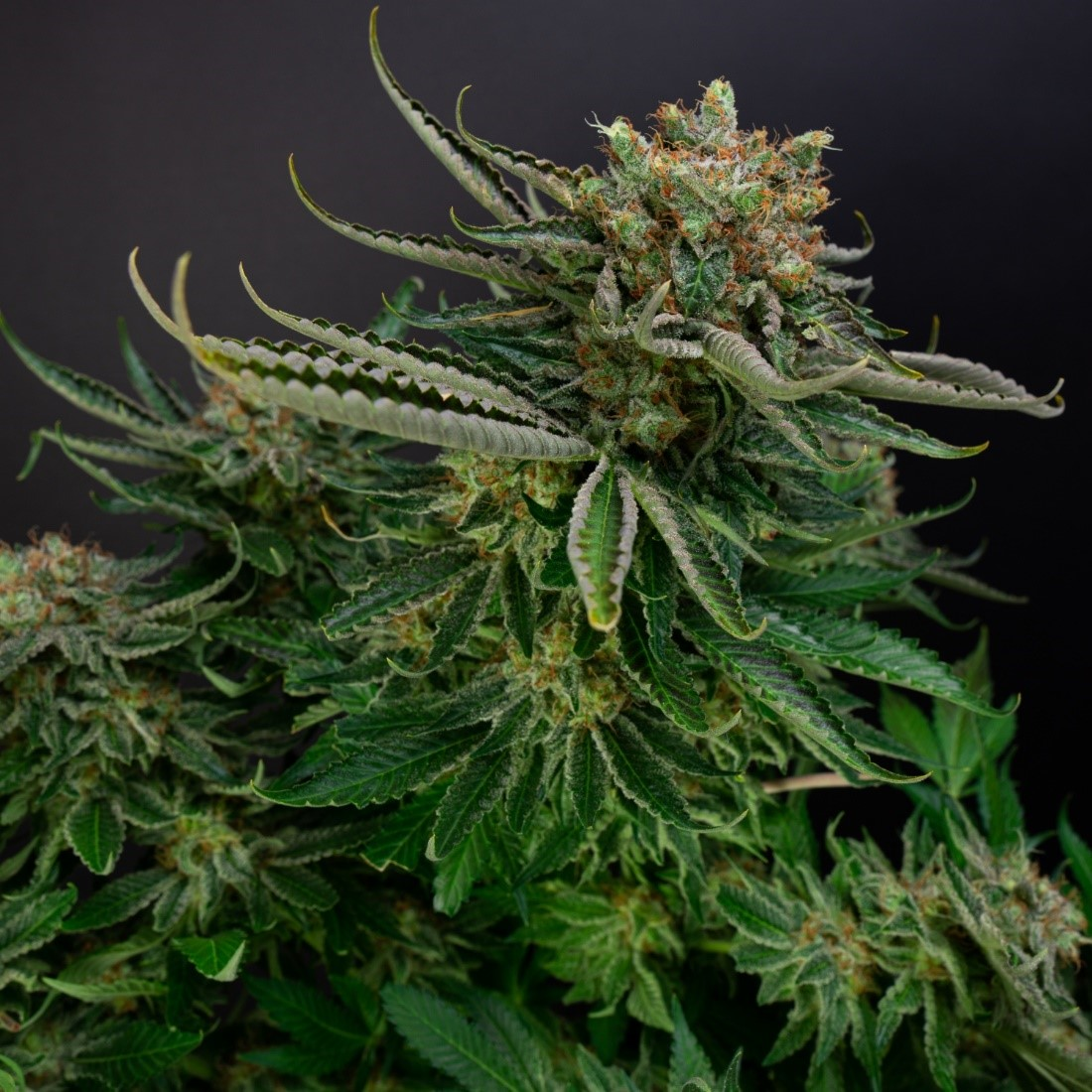Buy Cannabis Seeds UK at Discount Cannabis Seeds