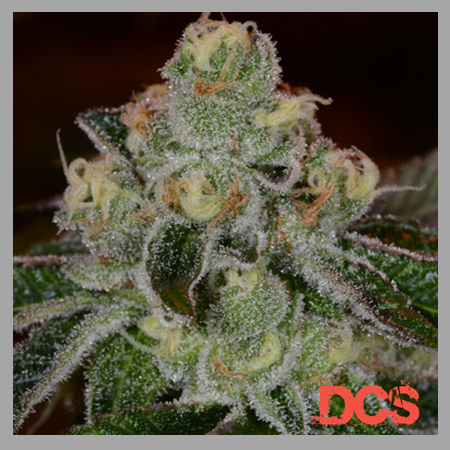Auto Girl Scout Cookies - Discount Cannabis Seeds