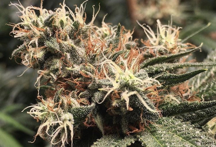 Exodus Cheese Auto - Green House Seeds - Discount Cannabis Seeds