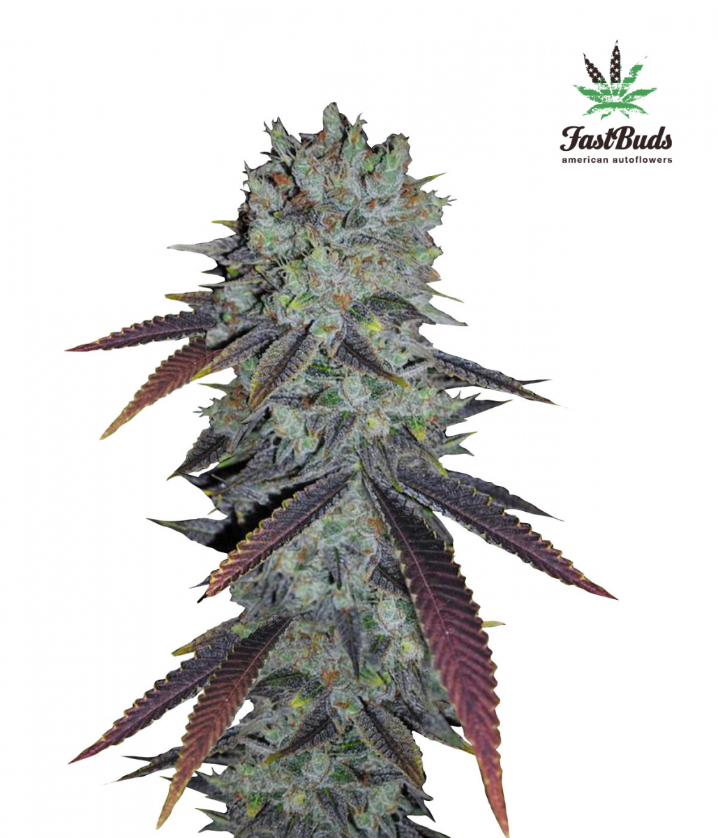 Fastberry Auto Feminised Cannabis Seeds | Fast Buds