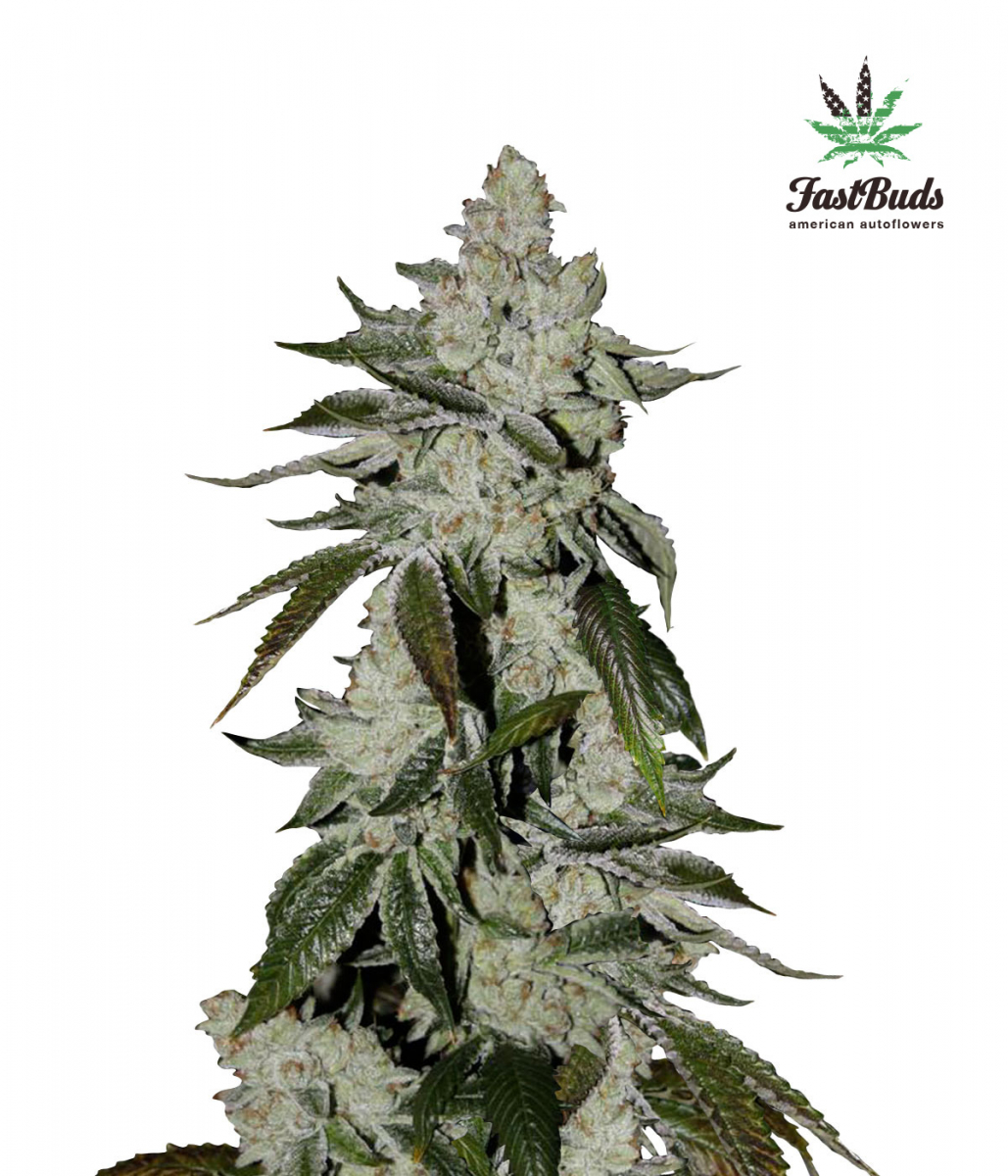 Girl Scout Cookies - Discount Cannabis Seeds
