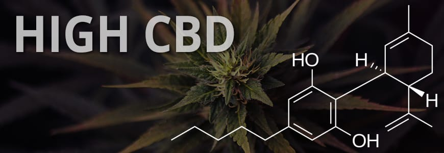 Six of the Best CBD Medical Cannabis Seeds | Discount Cannabis Seeds