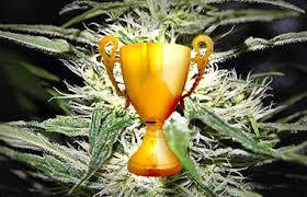 Award Winning Cannabis Seeds Strains - Discount Cannabis Seeds